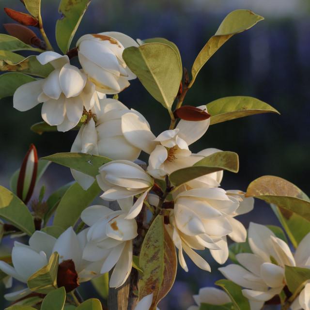 """""""Magnolia at Dusk"""" stock image"""