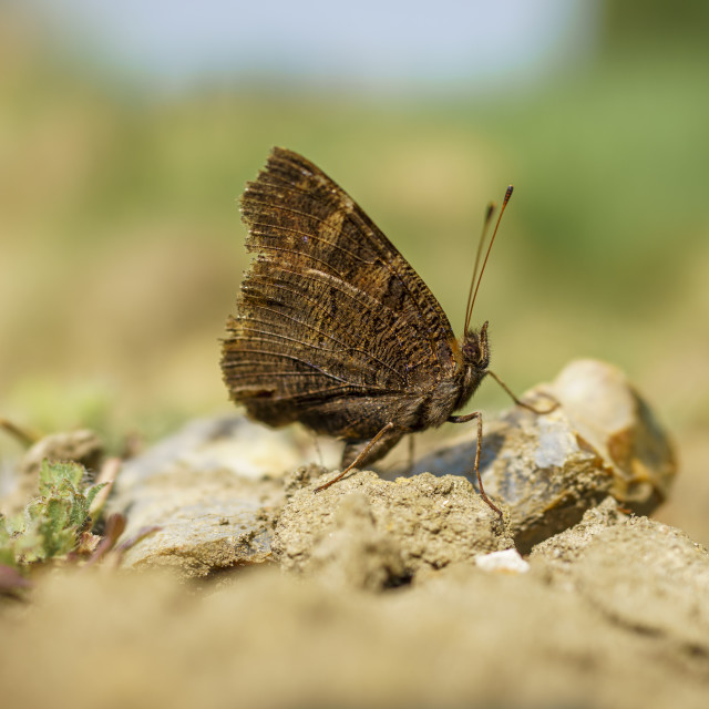 """""""Resting Butterfly"""" stock image"""