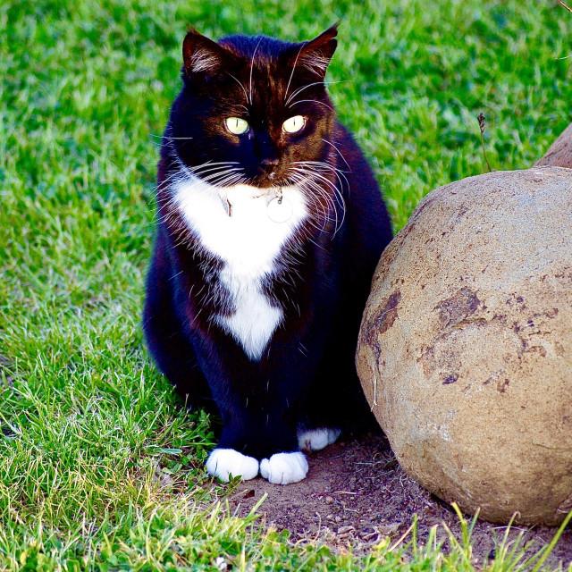 """Tuxedo Cat"" stock image"
