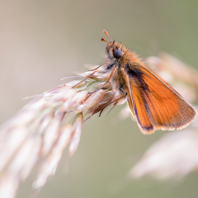 """""""Small Skipper on Meadow Grass"""" stock image"""