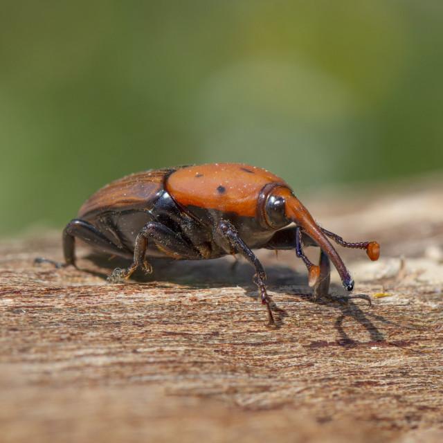 """Red Palm Weevil, (Rhynchophorus ferrugineus) on a dead trunk, Spain."" stock image"