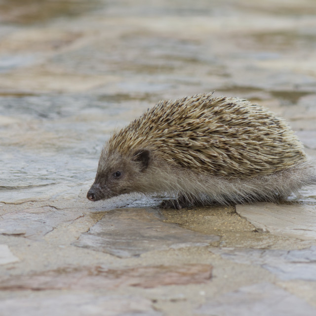 """A hedgehog walks around at daytime, during rain"" stock image"