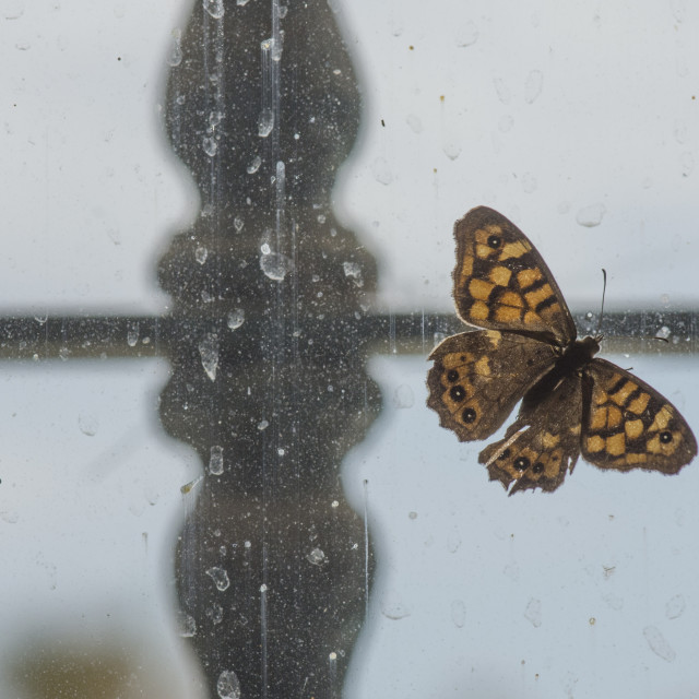 """""""Speckled wood butterfly trapped behind a window, (Pararge aegeria)."""" stock image"""