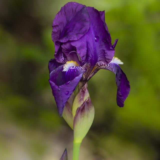 """""""Bearded Iris (Iris germanica)"""" stock image"""