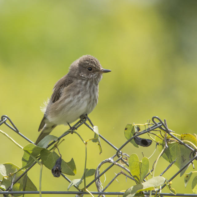"""""""Spotted flycatcher (Muscicapa striata), perched on a fence. Andalusia, Spain."""" stock image"""