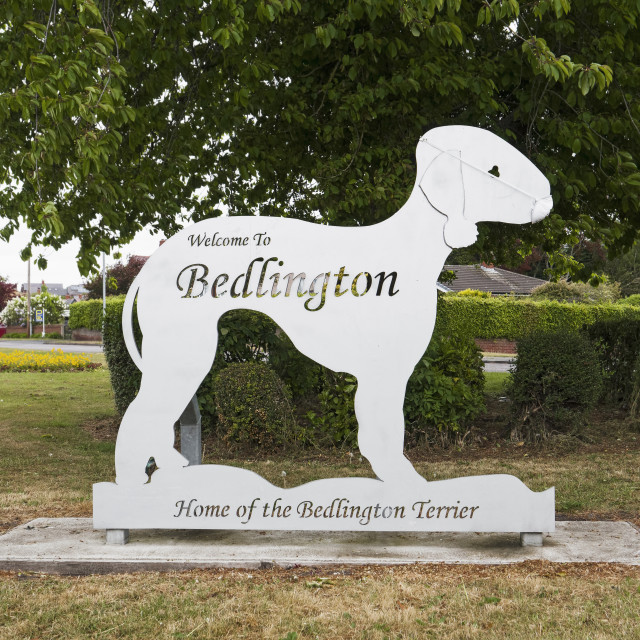 """""""Bedlington terrier sign with mask during the 2020 coronavirus pa"""" stock image"""