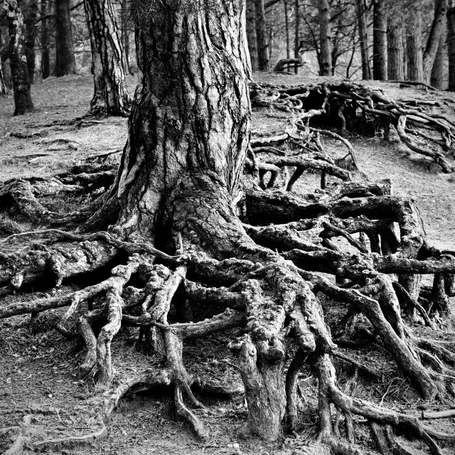 """""""Troots : Tree Roots"""" stock image"""