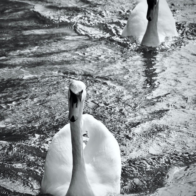 """""""Pair of Swans"""" stock image"""