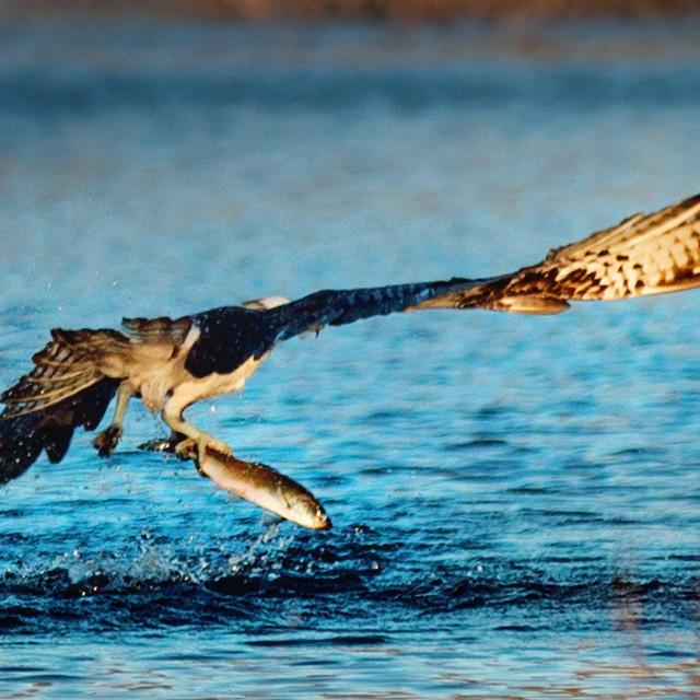 """""""Osprey fishing"""" stock image"""