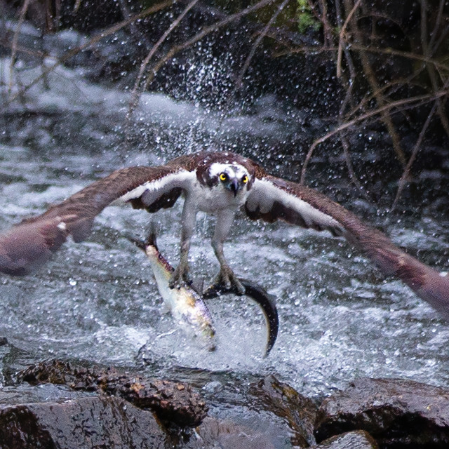 """""""Most birds are happy when they catch one fish, not this guy🙄"""" stock image"""