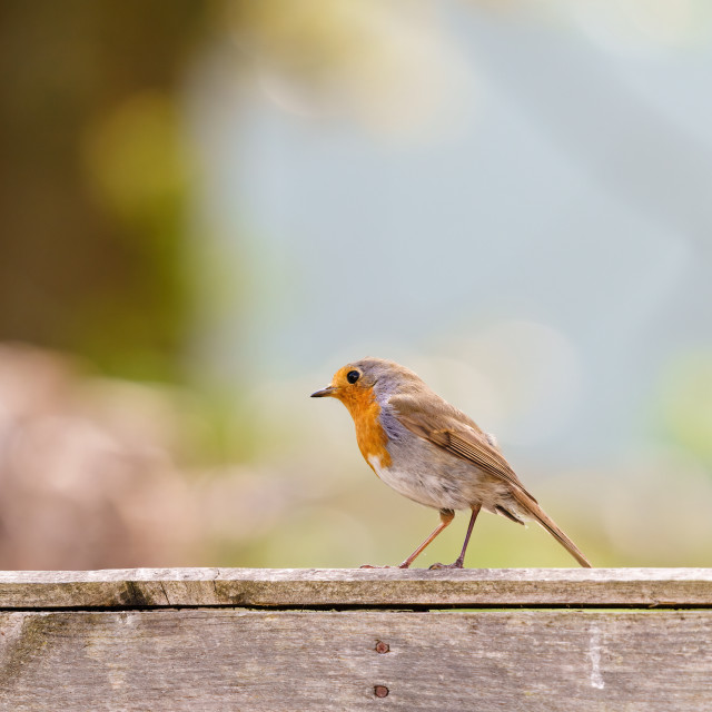 """European Robin (Erithacus rubecula) perched on a fence against a blurred..."" stock image"
