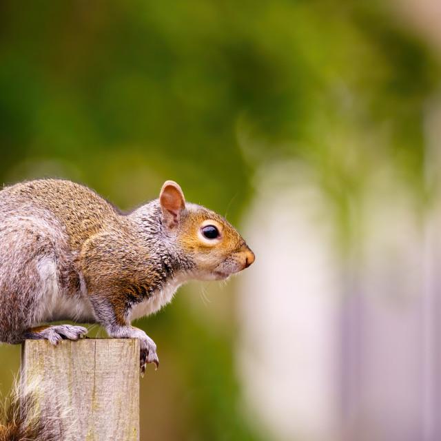 """Gray Squirrel (Sciurus carolinensis) portrait, sitting on a fence post, taken..."" stock image"