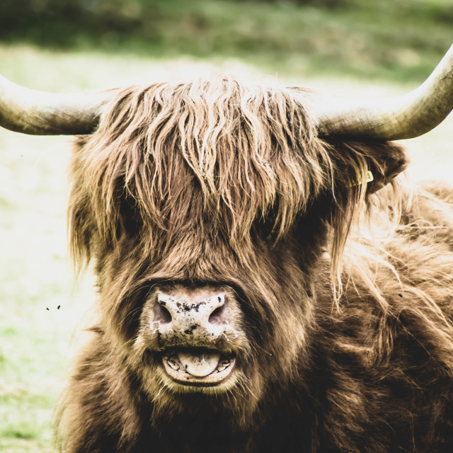 """Young Yak"" stock image"