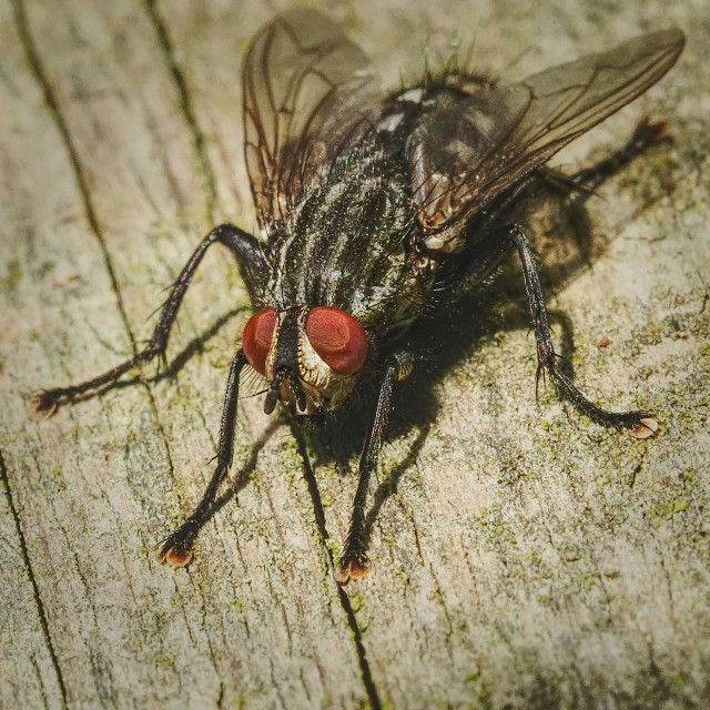 """Flesh Fly"" stock image"
