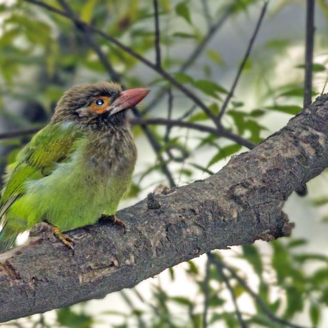 """The brown-headed barbet or large green barbet (Psilopogon zeylanicus)"" stock image"