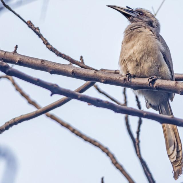 """The Indian grey hornbill (Ocyceros birostris)"" stock image"