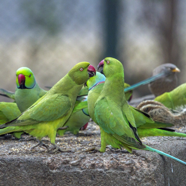 """""""The rose-ringed parakeet (Psittacula krameri) also known as the ring-necked parakeets"""" stock image"""