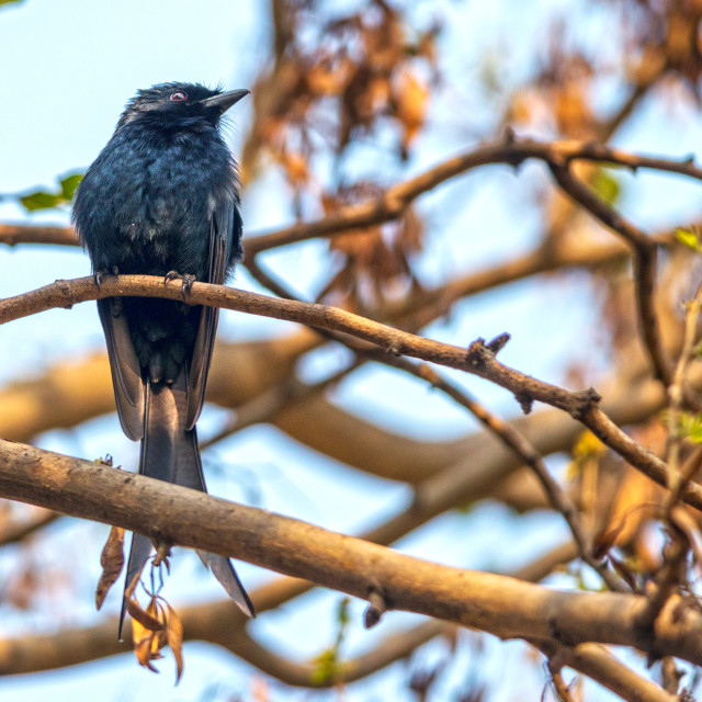 """The black drongo (Dicrurus macrocercus)"" stock image"