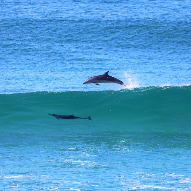 """""""Dolphins surf a wave"""" stock image"""