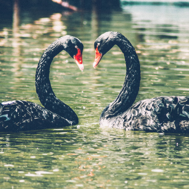 """Swan Love"" stock image"