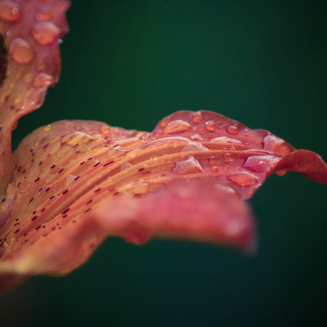 """""""Drops on Flower"""" stock image"""