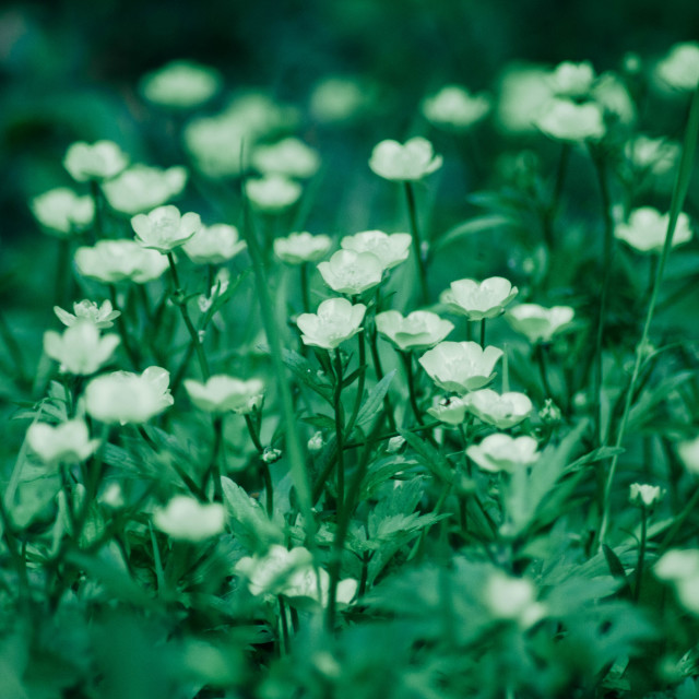 """""""Small White Flowers"""" stock image"""