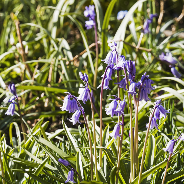 """""""Common Bluebell, Hyacinthoides non-scripta flowering in the UK"""" stock image"""