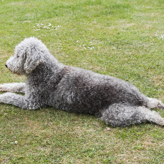 """""""Bedlington terrier unclipped lying on grass"""" stock image"""