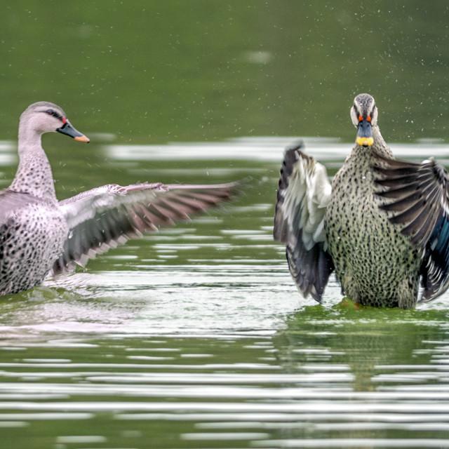 """""""The yellow-billed duck (Anas undulata)"""" stock image"""