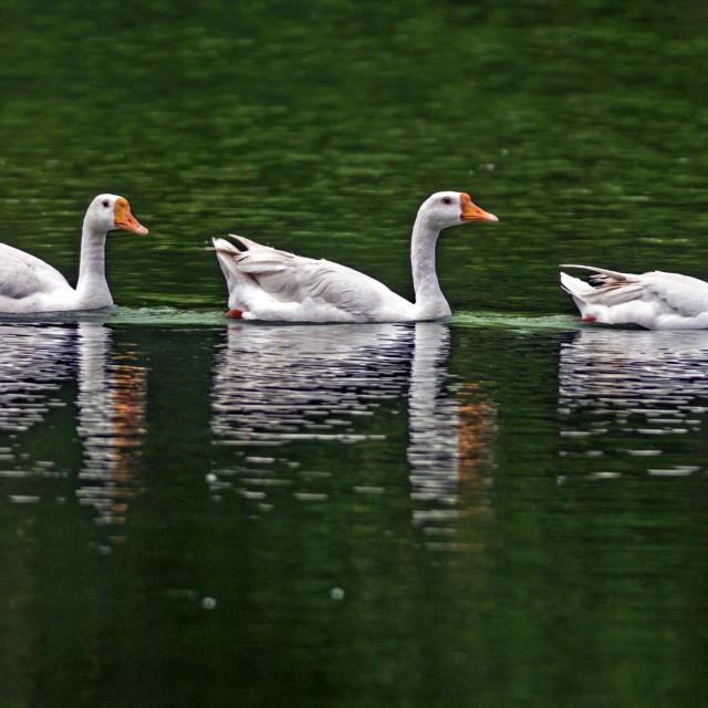 """The American Pekin Duck,(Anas platyrhynchos domestica)"" stock image"