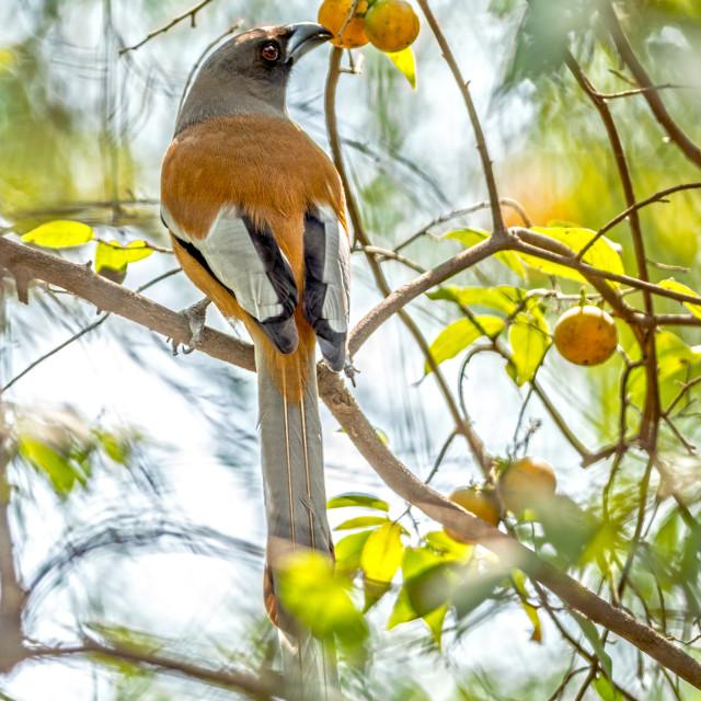 """The rufous treepie (Dendrocitta vagabunda)"" stock image"