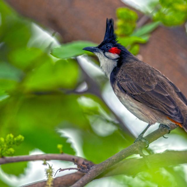 """The red-whiskered bulbul (Pycnonotus jocosus)"" stock image"