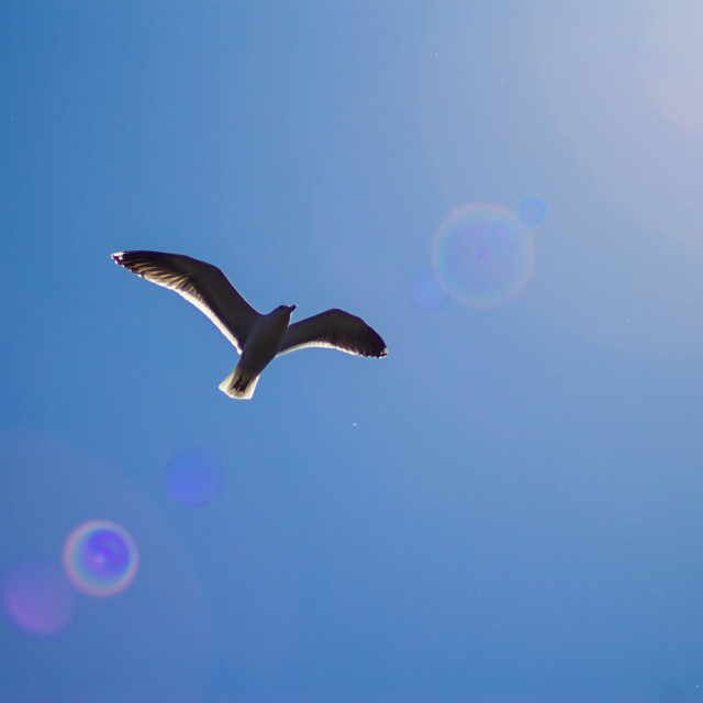 """Flying Seagull"" stock image"