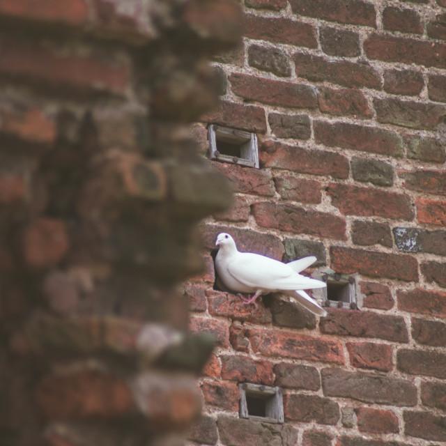 """Hiding Pigeon"" stock image"