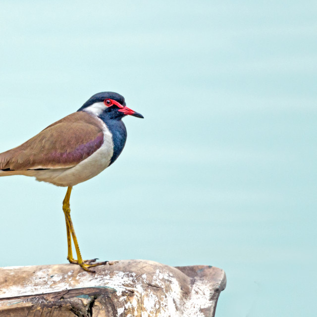 """""""The The red-wattled lapwing (Vanellus indicus)"""" stock image"""