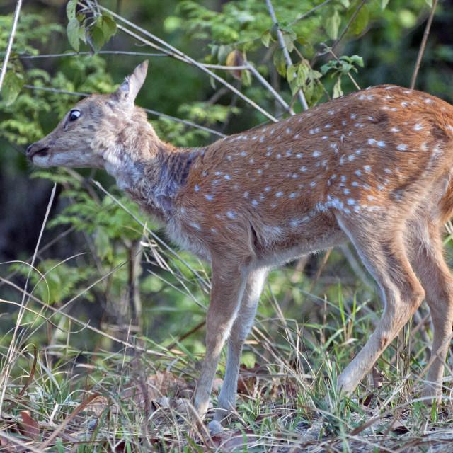 """The Chital deer, Spotted deer or Axis deer (Axis axis)"" stock image"