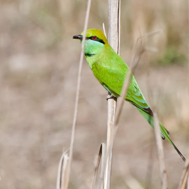 """The GREEN BEE EATER (Merops orientalis)"" stock image"