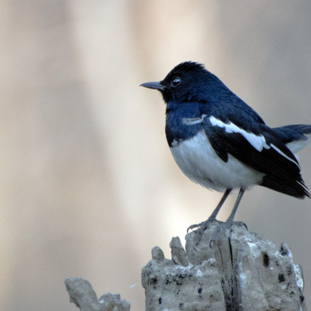 """The Magpie Robin or Doel bird (Copsychus saularis)."" stock image"