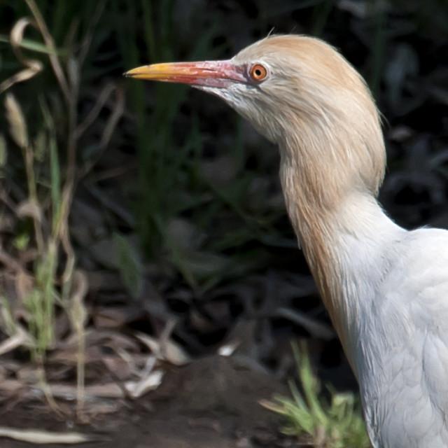 """The CATTLE EGRET (Bubulcus ibis)."" stock image"