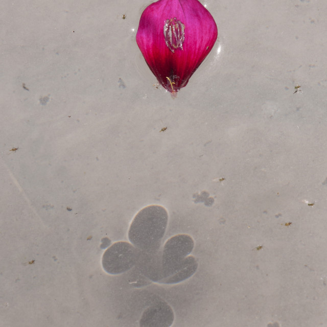 """""""The Rose Petal Shadow"""" stock image"""
