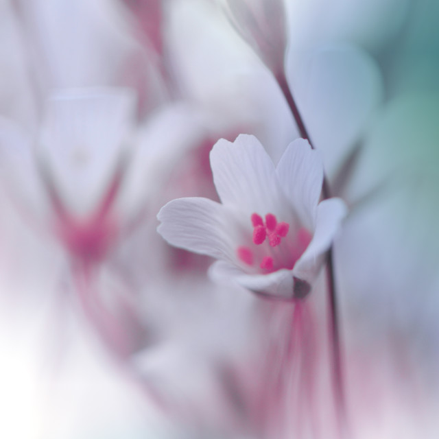 """""""Beautiful Nature Background.Floral Art Design.Abstract Macro Photography.White Flowers."""" stock image"""