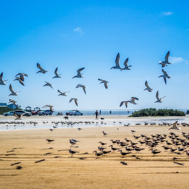 """""""A flock of Black Skimmers flying around in South Padre Island, Texas"""" stock image"""