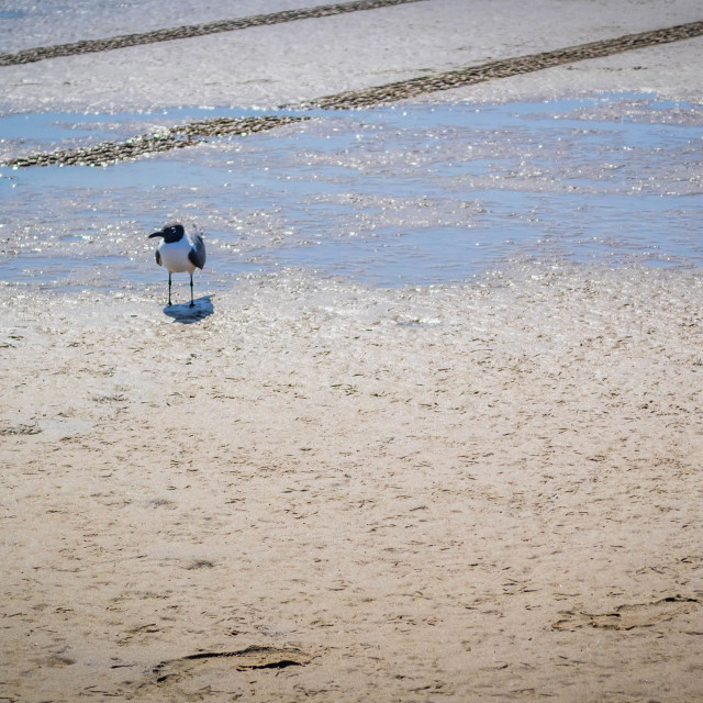 """""""A Franklin's Gull strolling around in South Padre Island, Texas"""" stock image"""