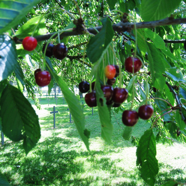 """""""Ripe cherries on a tree at a War Grave"""" stock image"""