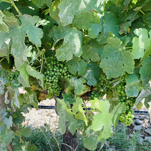 """Green grapes growing in vineyard"" stock image"