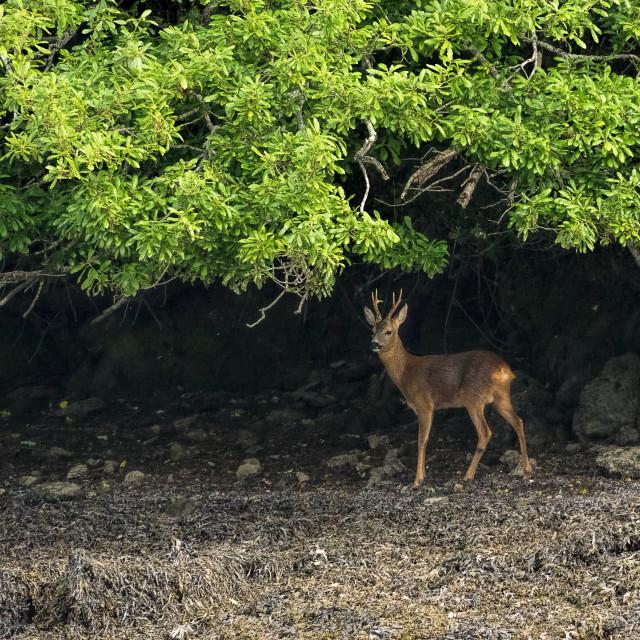 """Roe deer buck - Bow Creek"" stock image"