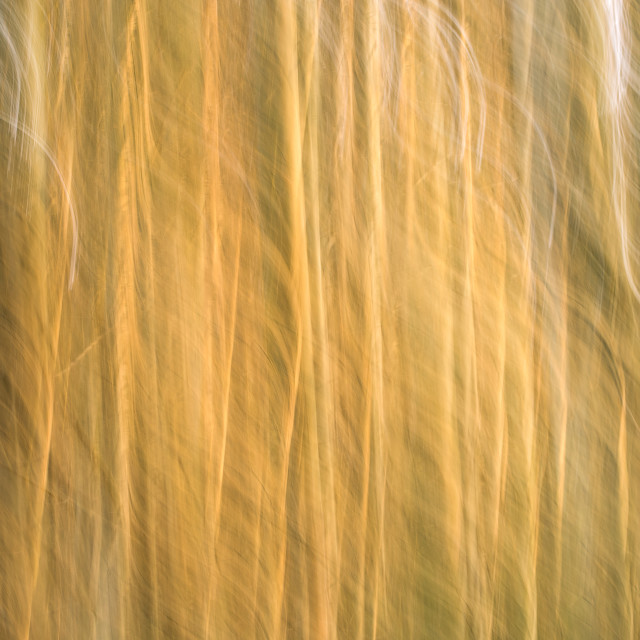 """Eucalyptus ICM"" stock image"