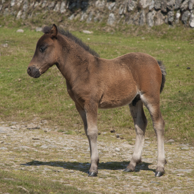 """Dartmoor Pony Foal"" stock image"