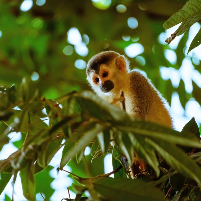 """Common Squirrel Monkey (Saimiri sciureus) in jungle canopy surveying the..."" stock image"