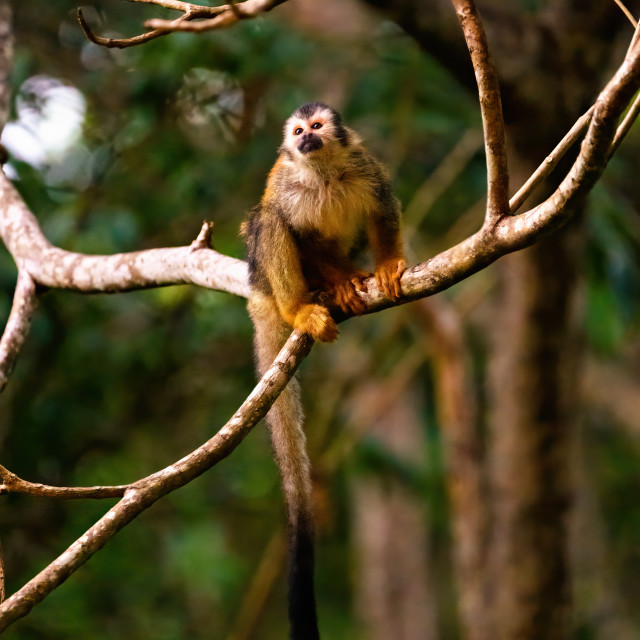 """Common Squirrel Monkey (Saimiri sciureus) looking up, taken in Costa Rica"" stock image"